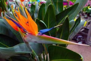 Strelitzia reginae photo
