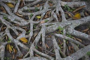 les racines des arbres pendant l'été photo