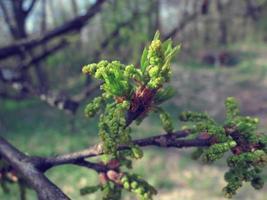 bourgeons sur l'arbre photo