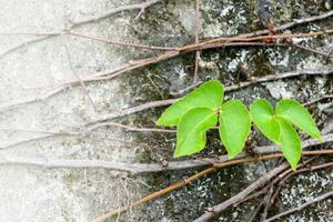 feuilles de vigne photo