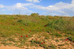 Prairie de printemps avec floraison de fleurs d'anémones rouges