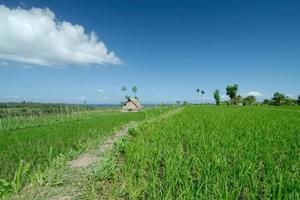 rizière à bali photo
