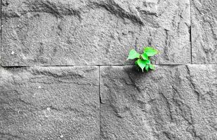 Feuille de pipal poussant à travers la fissure dans le vieux mur de pierre de sable photo
