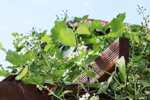 Framboisier avec beaucoup de fleurs blanches, ciel bleu jardin