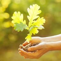 planter un nouveau chêne photo