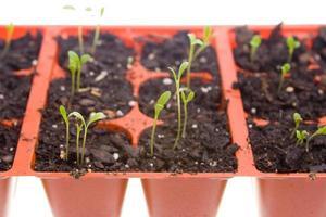 Vue latérale des semis de marguerite qui poussent dans des pots, fond blanc isolé