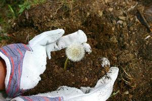 gants de travail dans le jardin avec pissenlit