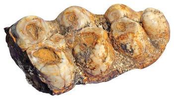 dents de mammouth photo