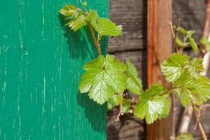 Feuille de raisin sauvage sur la façade de la maison en bois photo