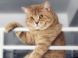 beau chat british shorthair photo
