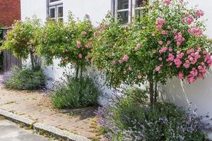 buissons de roses photo