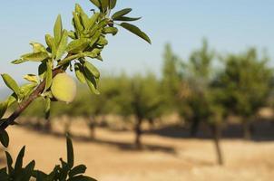fruit d'amande sur la branche photo