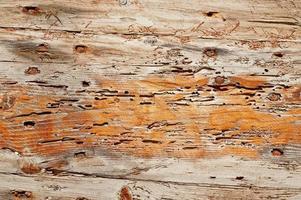 Anobium thomsoni dommages sur bois
