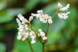 fleur de bégoniacées blanches photo
