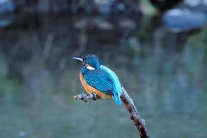 martin-pêcheur photo