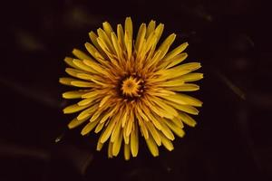 fleur jaune sur fond noir photo