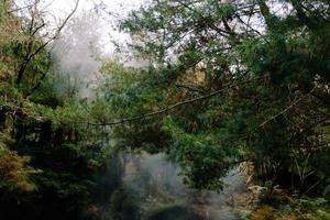 arbre à feuilles persistantes en forêt photo