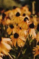 Gros plan de fleurs de susan aux yeux noirs