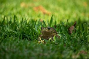grenouille dans l'herbe verte photo