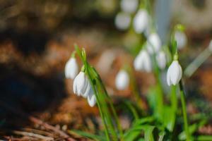 fleur de crocus blanc photo