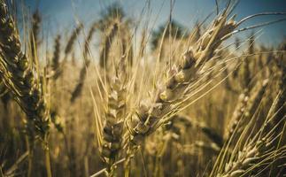 herbe de blé haute
