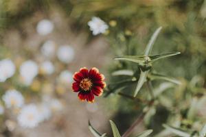 fleur rouge et jaune photo