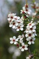 arbre à thé en fleurs photo