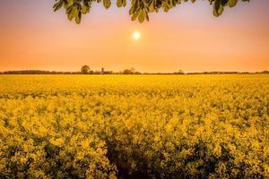 champs de fleurs jaunes photo