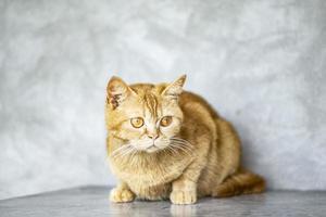 La photo en gros plan du chat tigré orange