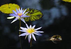 nénuphars violets
