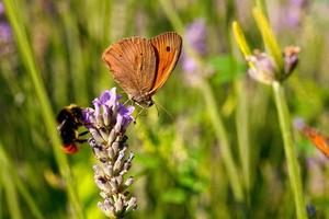 papillon sur les fleurs de lavande