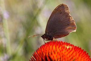 papillon sur fleur d'échinacée