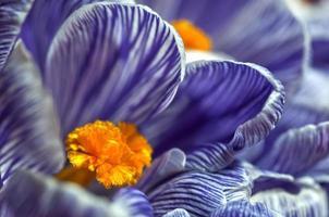 crocus en fleurs photo
