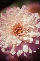 chrysanthème rose sur fond calme photo
