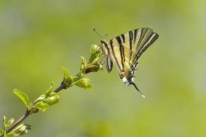 papillon - machaon rare photo