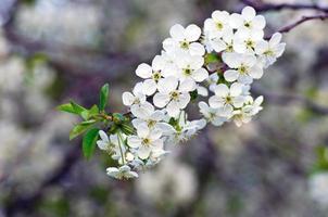 Gros plan de fleur de cerisier sur fond naturel