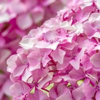 Belles petites fleurs roses gros plan photo