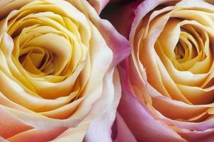 macro de fleurs roses photo