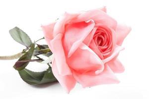 belle rose rose avec des feuilles isolées sur blanc photo
