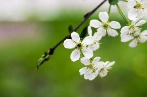 Gros plan de fleur de cerisier sur fond naturel photo