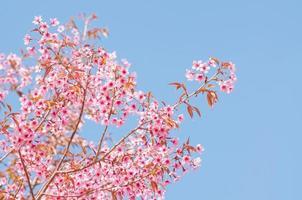 fleurs de cerisier de printemps photo
