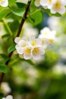 aperçu plante brindille fleur jasmin en fleurs photo