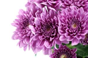 Chrysanthème violet sur fond blanc photo