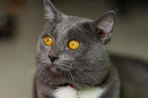 chat gris effrayant