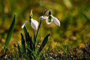 fleur de perce-neige en fleur photo