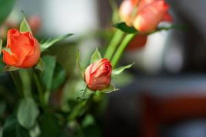 rose orange sur fond de salle