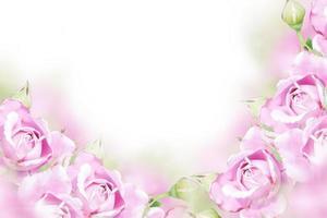 rose de jardin photo