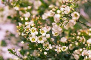 fleur de cire blanche sur fond naturel photo