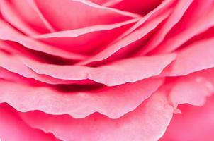 pétale de rose rose, concept abstrait de la nature. photo