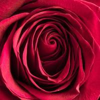 belle rose rose gros plan photo